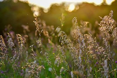 Close-up of plants growing on field during sunset - p1166m2011350 by Cavan Social