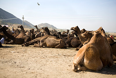 Animal Market in Rajasthan V - p817m787944 by Daniel K Schweitzer
