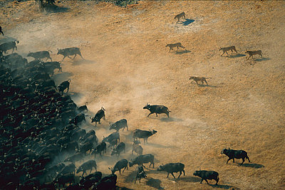 African Lion females hunting Cape Buffalo herd - p8844663 by Richard Du Toit