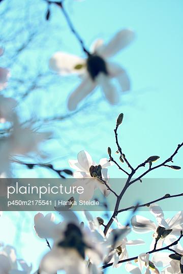 Magnolia blossom - p450m2175541 by Hanka Steidle