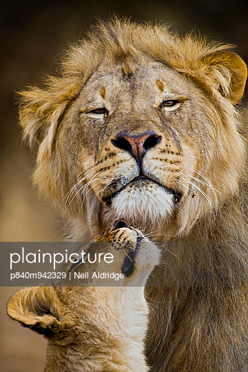 African Lion  cub reaches for a moment of intimacy with its father, Northern Tuli Game Reserve, Botswana - p840m942329 by Neil Aldridge