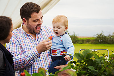 Fruit picking in a poly tunnel, PYO. A family and a baby boy picking and tasting strawberries from plants grown on raised platforms - p1100m1522421 by Mint Images