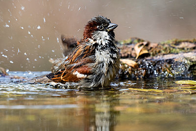 Male homemade sparrow (Passer domesticus) bathing in a stream. Spain - p1166m2124538 by Cavan Images