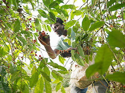 Man picking coffee berries on coffee farm in the Blue Mountains, Jamaica. - p924m2202347 by Monty Rakusen