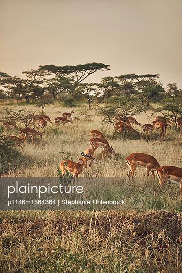 Antilopenherde - p1146m1584384 von Stephanie Uhlenbrock