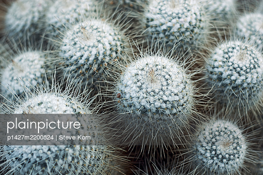 Close up of cacti - p1427m2200824 by Steve Korn