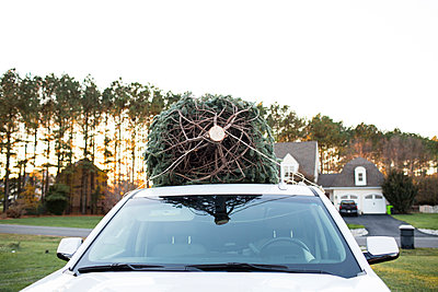 Trunk View of Freshly Cut Christmas Tree on top of White SUV at Sunset - p1166m2078322 by Cavan Images