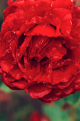 Wet Rose - p1507m2110341 by Emma Grann