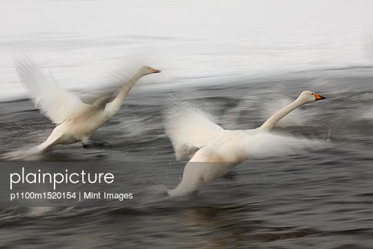 Whooper Swan, Cygnus cygnus, flying over frozen bay in winter. - p1100m1520154 by Mint Images