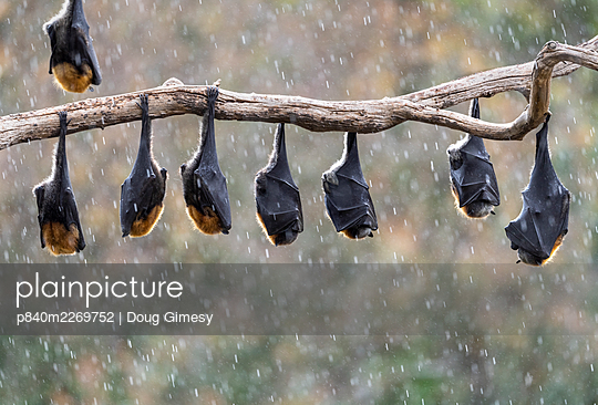 Grey-headed flying-foxes (Pteropus poliocephalus) hang from a branch during a light summer rain shower.? Yarra Bend Park, Kew, Victoria, Australia. November. - p840m2269752 by Doug Gimesy