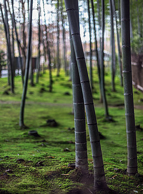 Bamboo forest - p312m2091601 by Pernille Tofte