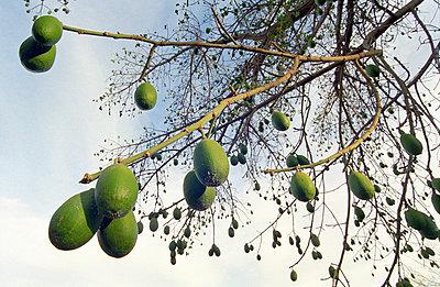 Avocado tree - p3380172 by Marion Beckhäuser