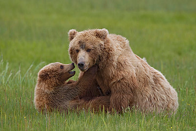 Grizzly Bear mother playing with cub - p884m864426 by Ingo Arndt