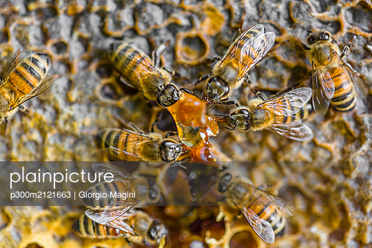 Close-up of honeybees sitting on honeycombs - p300m2121663 by Giorgio Magini