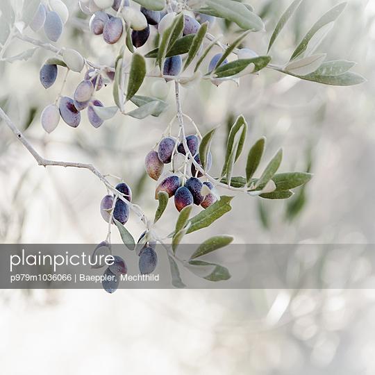 Olivenbaum - p979m1036066 von Baeppler, Mechthild