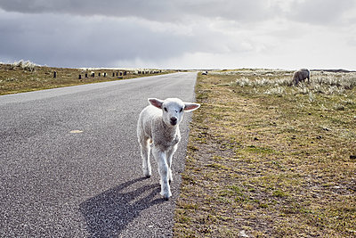 Young lamb on the street - p1573m2178915 by Christian Bendel