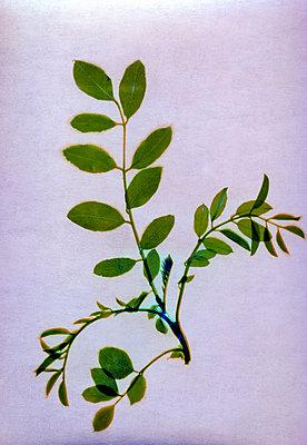 Pressed green leaves - p945m2279948 by aurelia frey