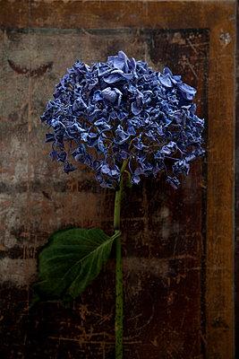 Blaue Hortensie - p993m698553 von Sara Foerster