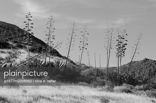 Agaves, Andalusia, Spain - p1677m2258952 by nina e. reiter