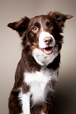 Border Collie - p1076m1065242 von TOBSN