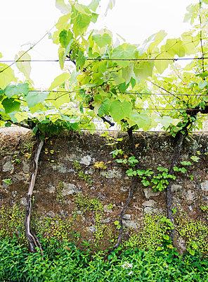 Weinreben - p171m1159500 von Rolau
