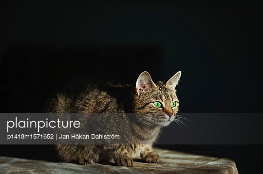 Wachsame Katze - p1418m1571652 von Jan Håkan Dahlström
