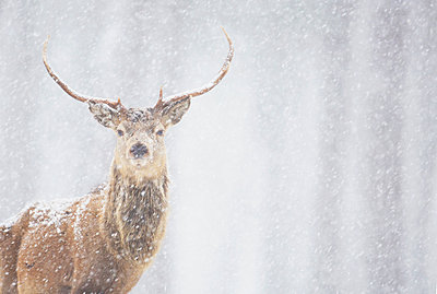Red deer Cervus elaphus, stag in winter, Scotland - p343m1006623f by James Silverthorne