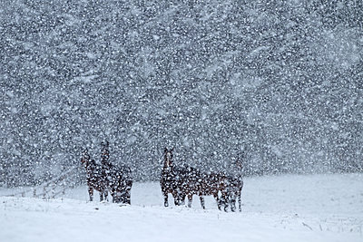Horses during heavy snowfall - p1016m1539471 by Jochen Knobloch