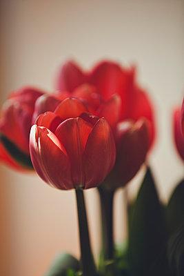 Tulpen - p904m1020415 von Stefanie Päffgen