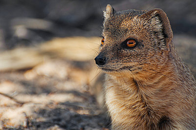 Yellow mongoose - p1065m885920 by KNSY Bande