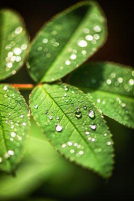 Morning dew on leaves - p1418m2122045 by Jan Håkan Dahlström