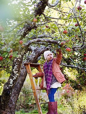 Girl on ladder picking apples, Varmdo, Uppland, Sweden - p528m875610 by Anna Kern