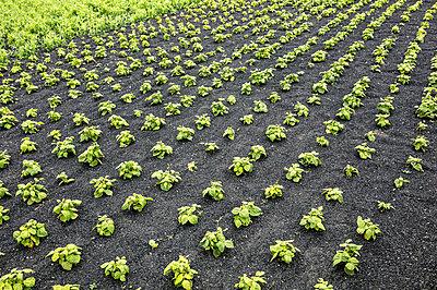 Vegetable gardening on black lava earth - p1082m1538985 by Daniel Allan