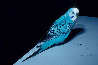 Budgie - p2687414 by Andres Wertheim