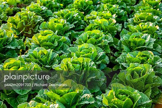 Crop of romaine lettuce growing in a field; Nova Scotia, Canada - p442m2091703 by Richard Desmarais