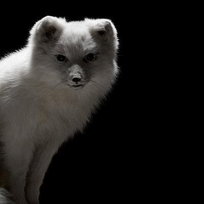 Polarfuchs - p910m1195108 von Philippe Lesprit