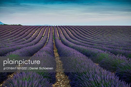 Lavendelfeld, bei Valensole, Plateau de Valensole, Alpes-de-Haute-Provence, Provence, Frankreich - p1316m1161022 von Daniel Schoenen