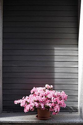 Blühende Topfpflanze vor Rolladen, Toskana, Italien - p1316m1160479 von Enno Kapitza