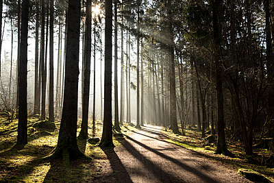 Morning sun in the forest - p1687m2278474 by Katja Kircher