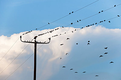Starlings - p533m1474787 by Böhm Monika