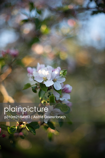 Apple blossom - p310m2184983 by Astrid Doerenbruch
