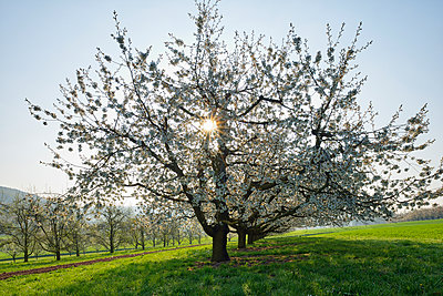 Switzerland, blossoming cherry trees on a meadow at backlight - p300m2042967 by Martin Rügner