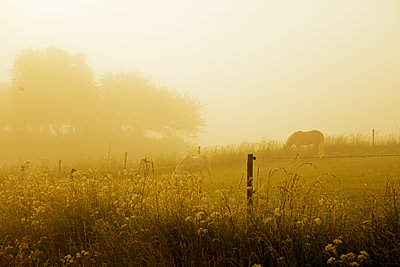 Sweden, Halland, Falkenberg, Two horses grazing in pasture at dawn - p352m1141857 by Magnus Carlsson