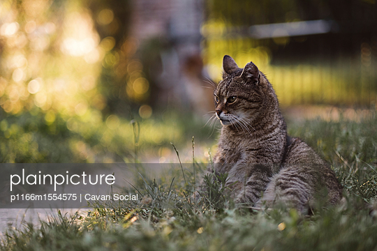 plainpicture | Photo library for authentic images - plainpicture p1166m1554575 - Cat looking away while sitt... - plainpicture/Cavan Images/Cavan Social
