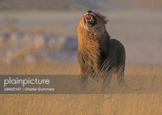 African lion male giving flehmen grimace - p8402197 by Charlie Summers