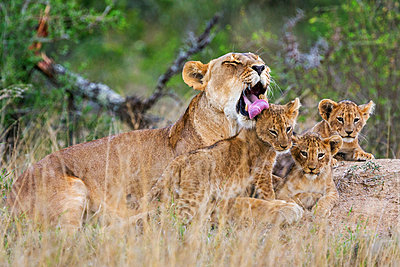 Kenya, Laikipia.  A lioness licks one of her three small cubs. - p652m1221486 by Nigel Pavitt