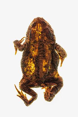 Mumifizierte Kröte - p1275m2210253 von cgimanufaktur