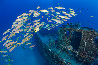A school of yellowfin goatfish  on The Wreck of The Carthaginian, a Lahaina landmark, sunk as an artifical reef off Lahaina; Maui, Hawaii, United States of America - p442m1086585 by Dave Fleetham