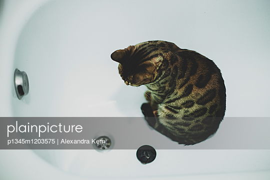 Bengalkatze in Badewanne - p1345m1203575 von Alexandra Kern