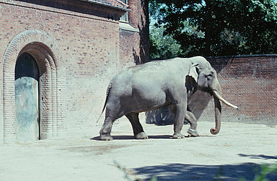 An elephant in a zoo - p3487390 by Nokkvi Eliasson